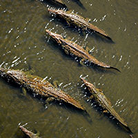 Crocodiles_Costa_Rica