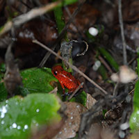 Poisonous_tree_frog_Costa_Rica