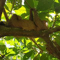 Sloth_in_jungle_Costa_Rica