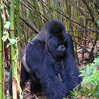Rwanda_Silverback_Gorilla.jpg