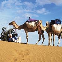 Sahara-Camel