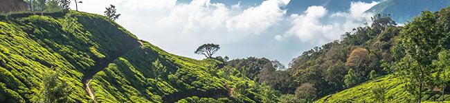 The_tea_plantations_of_Kerala_India.jpg